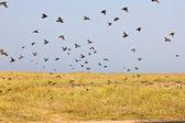 Zwerm vogels — Stockfoto