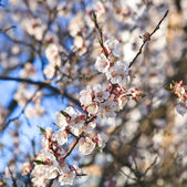 Tree blosson in april — Stock Photo