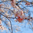 Cherry blossoms in full bloom — Stock Photo #5416395