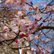 Cherry blossoms in full bloom — Stock Photo #5416398