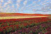 Bereich rot und gelb blühenden butterblumen — Stockfoto