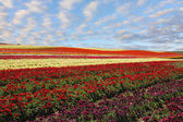 Field of red and yellow blooming buttercups — 图库照片