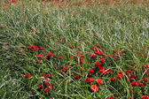 A green grass and red buttercups — Stock Photo