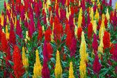 Las flores decorativas de color rojas y amarillas — Foto de Stock