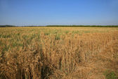 The big yellow field. Israel — Stock Photo