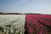 Large field of flowers — Stock Photo