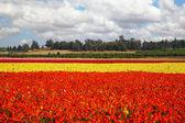 Flower spring in Israel — Stock Photo