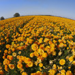 Stock Photo: Flower fields. Orange buttercups