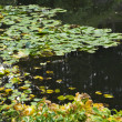 Lilies in a pond — Stock Photo #5996983