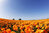 The flower fields. Orange buttercups — Stock Photo