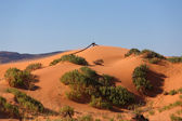 Soft pink sand dunes and hardy — Stock Photo