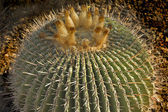 Round cactus. — Stock Photo