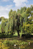 A weeping willows and lily — Stock Photo