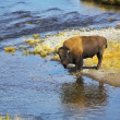 Bison on a watering place — Stock Photo