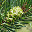 Green big shot of the pine — Stock Photo