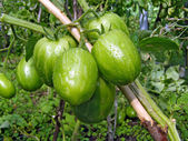 Green tomatoes on branch — Stock Photo