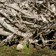 Root tumbled tree — Stock Photo