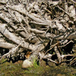 Stock Photo: Root tumbled tree