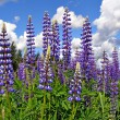 Stock Photo: Flowerses lupines on field