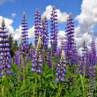 Flowerses lupines on field — Stock Photo #6483935