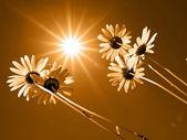 Daisywheels — Stock Photo