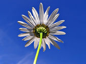 Flower daisywheel on background blue sky — Stock Photo