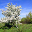 Wild aple tree — Stock Photo