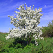 Wild aple tree — Stock Photo #6615947