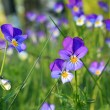 Violets on field — Stock Photo