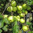 Green apple on branch  — Stockfoto