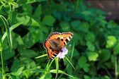 Vlinder aan bloem — Stockfoto
