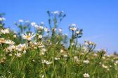 Daisywheels on field — Stock Photo