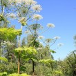 Hogweed - Stock Photo