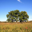 Oak on field — Stock Photo #6715994