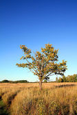 Oak on field — Stock Photo