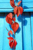 красный лист на голубой стене — Стоковое фото