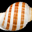 Seashell — Stock Photo #6715976