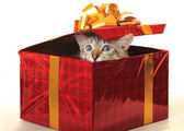 Cat as a gift. — Stock Photo