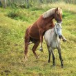 Stock Photo: Coupling horses.