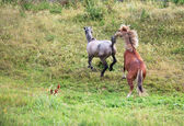 Courtship horses. — Stock Photo