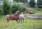 Courtship horses. — Stock Photo
