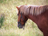 Caballo mastica hierba. — Foto de Stock