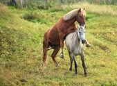 Coupling horses. — Stock Photo