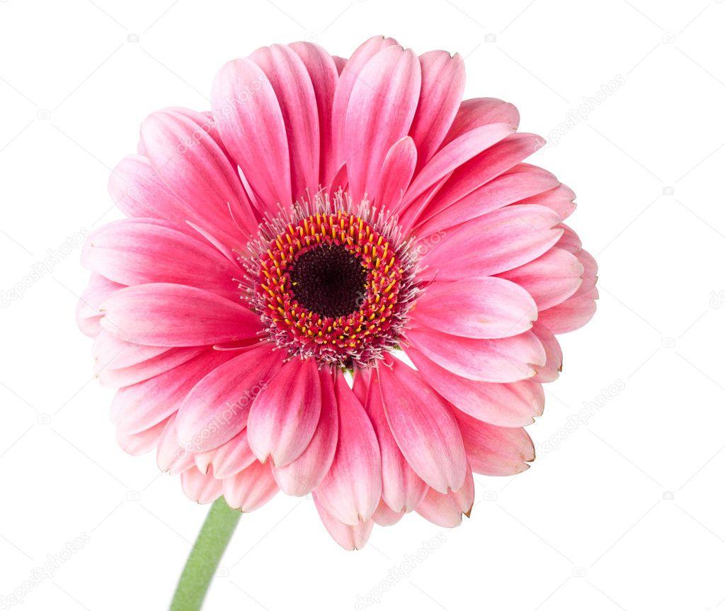 pink gerbera flower on stem stock photo karandaev 5474471. Black Bedroom Furniture Sets. Home Design Ideas