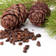 Siberian pine nuts and needles branch - Stock Photo