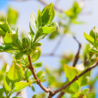Tree branch with spring buds and young green leaves — Stock Photo