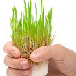 Fresh green grass in the hand on white background — Stock Photo #6001326