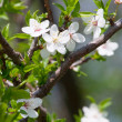 Spring blooming cherry branch — Stock Photo