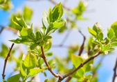 Tree branch with spring buds and young green leaves — Foto de Stock