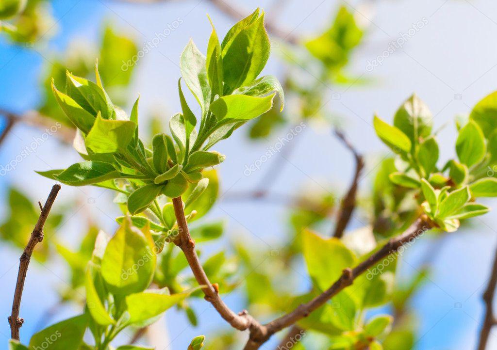branche darbre avec le printemps les bourgeons et jeunes feuilles vertes photographie mazzzur. Black Bedroom Furniture Sets. Home Design Ideas